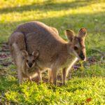 カンガルーの赤ちゃんの名前はみんな Joey。動物の赤ちゃんの呼び方